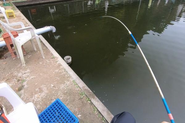 水中で動き回るコイ