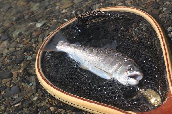 緑川本流で釣れたヤマメ