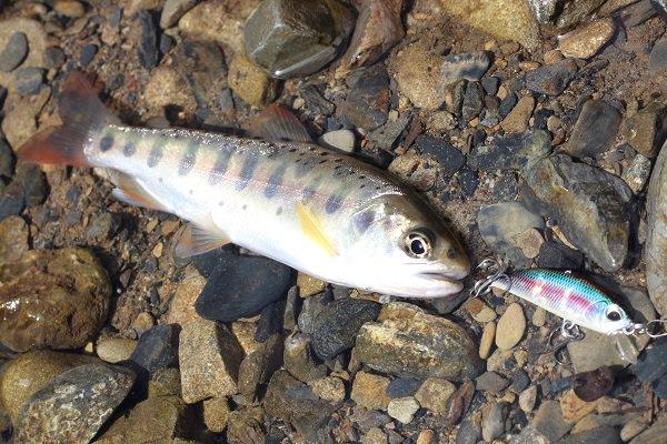 十根川で釣れたヤマメ
