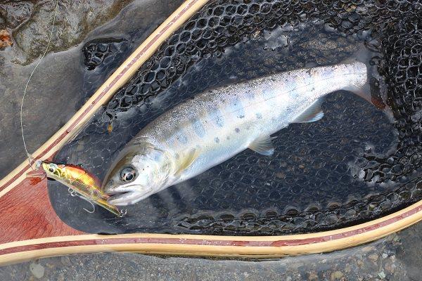 小丸川本流で釣れた良型ヤマメ